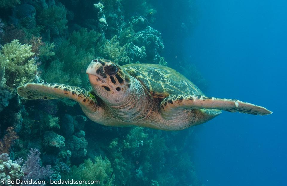 BD-090406-St-Johns-4062834-Eretmochelys-imbricata-(Linnaeus.-1766)-[Hawksbill-turtle.-Karettsköldpadda].jpg